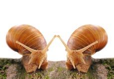 Escargots de datation Photographie stock