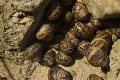Escargots de jardin, aspersa d'hélice, oisillon de groupe dans une roche, macro Photos stock