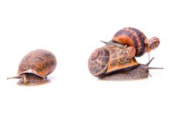 Escargots de jardin sur l'un l'autre Photographie stock