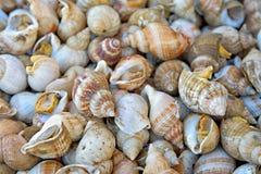Escargots de mer comestibles Photo libre de droits