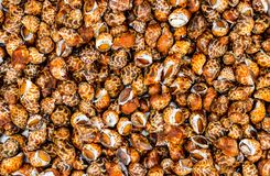 Escargots de mer crus pour la nourriture photos stock