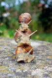 Escargots du principal 3 Photos stock