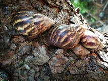 Escargots japonais photos libres de droits