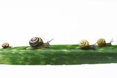Escargots marchant sur une lame Photographie stock libre de droits