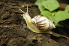 Escargots mignons sur le bois sec photo libre de droits