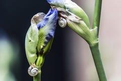 Escargots montant des bourgeons d'usine d'iris Photos stock