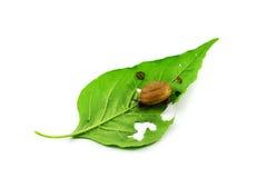 Escargots sur des lames Images stock