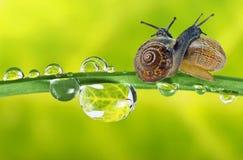 Escargots sur l'herbe couverte de rosée Photographie stock