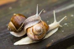 Escargots sur la table en bois après pluie Images stock