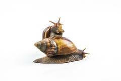 Escargots sur le fond blanc Photo stock