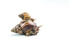 Escargots sur le fond blanc Photographie stock