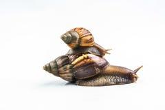 Escargots sur le fond blanc Image stock