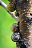 Escargots sur un tronc d'arbre Photographie stock libre de droits