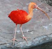 Escarlata ibis Imagen de archivo libre de regalías