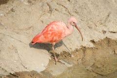 Escarlata ibis Fotografía de archivo