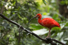 Escarlata ibis Imágenes de archivo libres de regalías