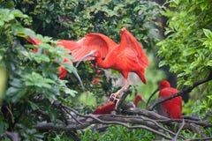 Escarlata ibis Fotos de archivo