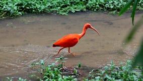 Escarlata ibis Foto de archivo