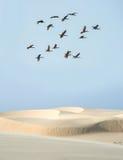 Escarlata Ibis debajo de los bancos del desierto del río de Parnaiba, el Brasil foto de archivo