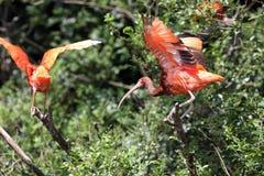 Escarlata Ibis, ruber de Eudocimus Imágenes de archivo libres de regalías