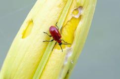 Escarlata Lily Beetle en el brote del lirio foto de archivo