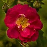 Escarlata que sube a Rose Fotografía de archivo libre de regalías