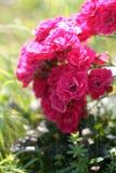 Escarlata Rose Foto de archivo