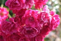 Escarlata Rose Foto de archivo libre de regalías