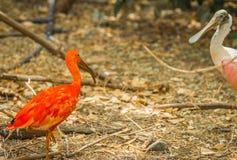 Escarlate brilhante dos íbis e outros pássaros que andam no parque Imagens de Stock Royalty Free