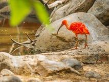 Escarlate brilhante dos íbis e outros pássaros que andam no parque Imagens de Stock