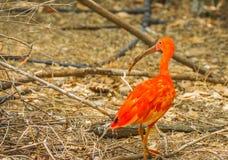 Escarlate brilhante dos íbis e outros pássaros que andam no parque Fotografia de Stock Royalty Free