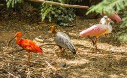 Escarlate brilhante dos íbis e outros pássaros que andam no parque Fotos de Stock