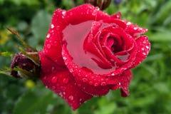 Escarlate da rosa no orvalho contra verdes Imagens de Stock Royalty Free