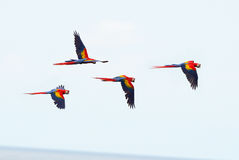 Escarlate das araras que voam, baía do pato, corcovado, Costa-Rica Imagem de Stock Royalty Free