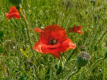 Escarlate das papoilas wildflowers imagem de stock