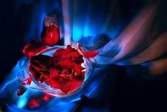 Escarlate das rosas em um fundo azul Fotos de Stock Royalty Free