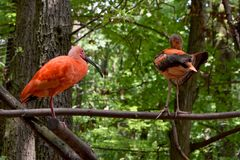 Escarlate de ibis Imagem de Stock Royalty Free