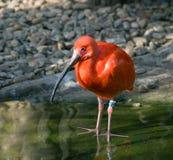 Escarlate de ibis Fotografia de Stock