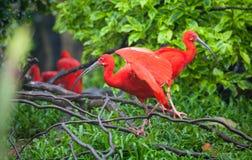 Escarlate de ibis Fotos de Stock Royalty Free