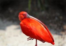 Escarlate de ibis Imagens de Stock