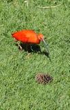 Escarlate de Ibis que anda na grama Imagem de Stock