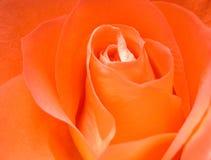 Escarlate de Rosa Imagens de Stock Royalty Free