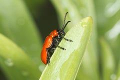 Escarlate do besouro do lírio/lilii de Lilioceris Imagens de Stock Royalty Free