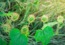 Escarlate do fruto, passiflora na floresta com luz solar fotos de stock royalty free
