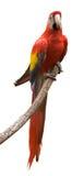 Escarlate do Macaw Imagem de Stock