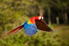Escarlate do Macaw Foto de Stock Royalty Free