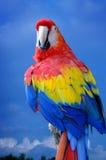 Escarlate do Macaw Fotografia de Stock
