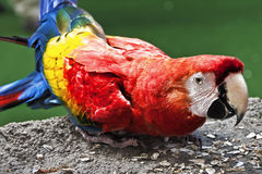 Escarlate do Macaw no parque Imagem de Stock Royalty Free