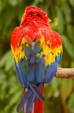 Escarlate do norte do Macaw Foto de Stock Royalty Free