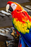 Escarlate do pássaro da arara imagem de stock royalty free